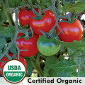 Large Red Cherry Tomato from Seed Savers Exchange