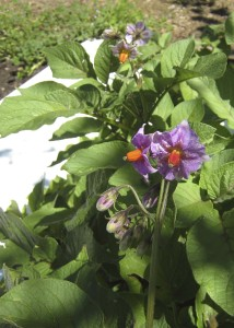 Potato plant in early bloom