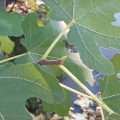 Growing tip of a fig tree