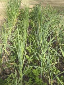 Garlic interplanted with potatoes