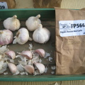 Russian Red Garlic seed stock from Peaceful Valley Farm