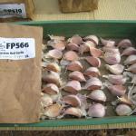 Russian Red Garlic seed stock (2011)