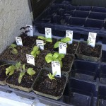 Seedlings after first round of transplanting.