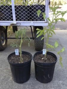 Black Krim seedlings