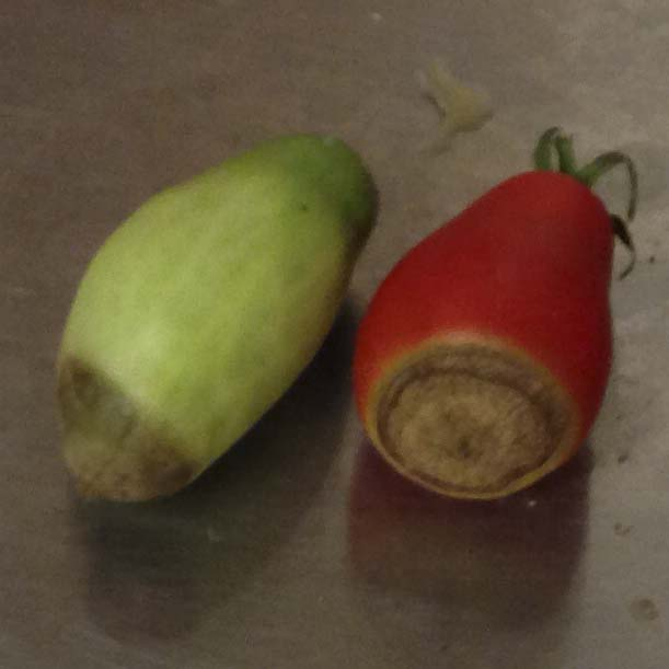 Blossom end rot in San Marzano paste tomatoes