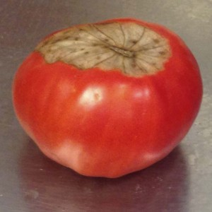 Blossom end rot in tomato