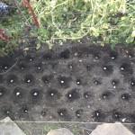 "Metechi planted at 5""x6"" spacing, offset rows"