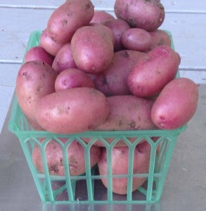 New potatoes from 2014 harvest