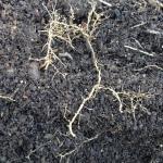 Roots showing root-knot nematode nodules
