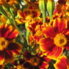 Sparky French Marigold from Bountiful Gardens
