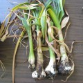 Garlic with Stem & Bulb Nematode infection