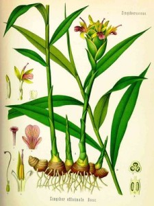 Botanical drawing of ginger (wikipedia)