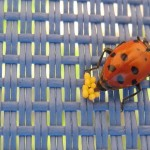 Ladybug laying eggs