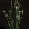 Leeks, onions & roses in a cut flower arrangement