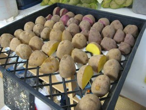 Readying potatoes for planting; 2.5 lbs each of German Butterball and Mountain Rose