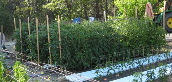 Tomato crop: June 2010 (one month after planting)