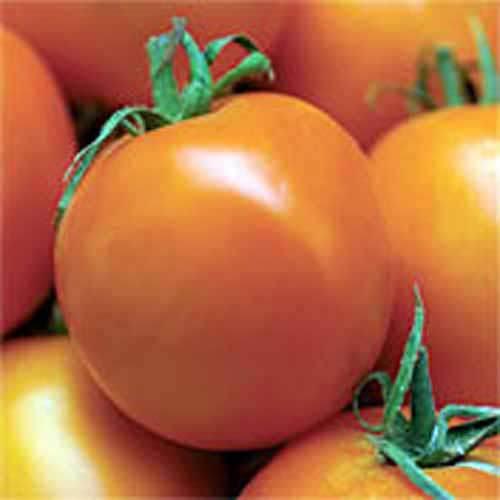 http://www.territorialseed.com/product/Principe_Borghese_Tomato_Seed/403